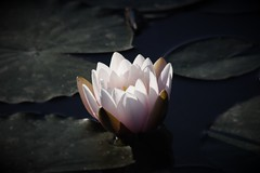 Seerose (Gina Biernath) Tags: blume flower wasser water waterlily lake seerose natur nature wassergarten reden saarland wow inspiredbylove 100commentgroup