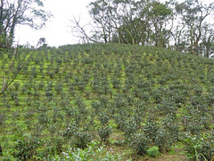 Taipei (Maokong St. - Camphor Trail), Taiwan (Jan-2016) 26-005 (MistyTree Adventures) Tags: taiwan taipei panasoniclumix asia outdoor teaplantation cameliasinensis greentea plant field camphortrail