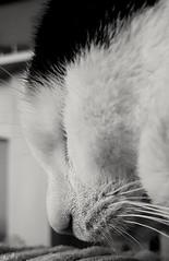 Freddie Snoozing (Dreamworld Wanderer Photography) Tags: cat blackwhite sleep sleeping