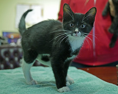 Karma & Phoenix_03 (AbbyB.) Tags: mtpleasantanimalshelter easthanovernj newjersey kitten cat feline abandoned leg injury adopt rescue pet shelterpet petphotography