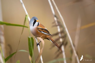 Panure à moustaches Panurus biarmicus - Bearded Reedling