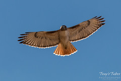 Red Tailed Hawk Flyover