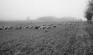 Shepherd, Dog and Flock