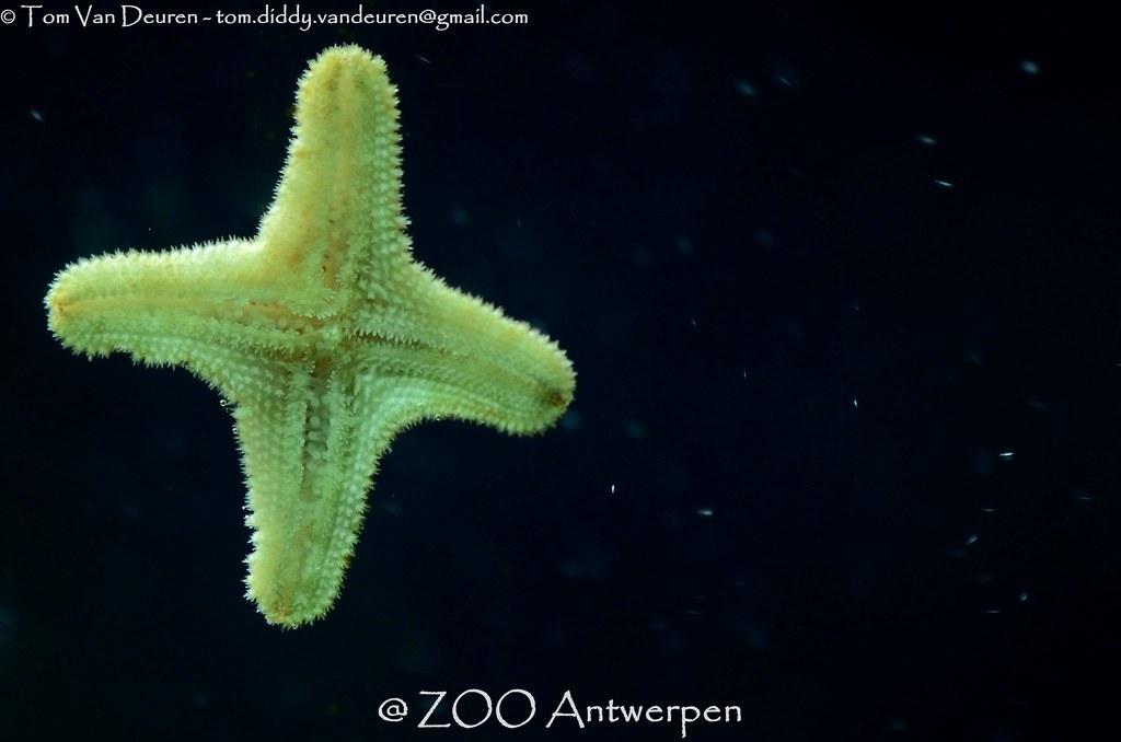 Asterina Starfish MrTDiddy Tags Sea Zoo Star