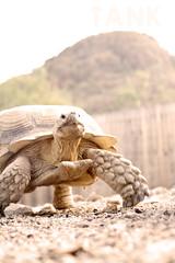 Tank (Immature Animals) Tags: arizona mountain tank tucson african tortoise shell az marshall derek scales tmnt sulcata