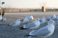 Flock of Gulls (brettkbowers) Tags: seagulls bird birds canon washingtondc dc wings seagull gull gulls flight t3 gravelly gravellypoint