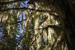 Lichen, hanging around in a tree (rozoneill) Tags: mountain lake oregon forest hiking lookout trail national wilderness waldo willamette wsweekly105