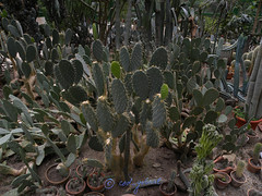 Opuntia cactuses in the greenhouse of Bucharest Botanical Garden (cod_gabriel) Tags: cactus cacti greenhouse romania jardimbotnico opuntia botanicalgarden bucharest hortusbotanicus cactuses cactos bucuresti rumania romenia sera  romnia bukarest roumanie kaktus jardnbotnico  kakteen ortobotanico boekarest bucarest romnia botanischergarten   romanya rumnien roemeni rumnien  rumana catos romnia kakts bucureti  bucharestbotanicalgarden  rumunia ogrdbotaniczny  romnia botanisktrdgrd  botanikbahesi  bucareste      rumunjska      limbasoacrei  kaktsgiller  grdinbotanic grdinabotanicbucureti kaktuszflk  ser cactui kebunbotani