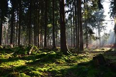 DSC_1535 ein sehr schöner Herbstmorgen im Wald - a very beautiful autumn morning in the forest (baerli08ww) Tags: autumn tree green forest germany deutschland herbst autumncolors grün wald baum russet rheinlandpfalz westerwald herbstfarben rhinelandpalatinate rostbraun westerforest
