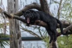 IMG_5131 (Phil_the_photter) Tags: elephant cheshire chester orangutan cheetah jaguar chimpanzee panther komododragon chesterzoo