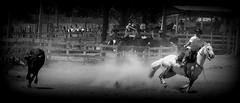 Silvio Correa (Eduardo Amorim) Tags: brazil horses horse southamerica brasil caballo cheval caballos lazo kuh cow rind cattle cows ox ganado cavalos oxen mucca pferde cavalli cavallo cavalo gauchos pferd riograndedosul pampa bois khe vache vaca vacas campanha brsil vaches boi chevaux gaucho buey  lasso amricadosul mucche lao fronteira boeuf vieh gacho amriquedusud  gachos  boeufs buoi sudamrica rinder gado suramrica amricadelsur bueyes sdamerika mue pinheiromachado  bestiami btail americadelsud americameridionale campeiros campeiro