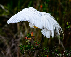 Darn Itch! (craig goettsch - out shooting) Tags: bird nature nikon florida wildlife avian greategret d610 baileytract dingdarlingnwr usnwr