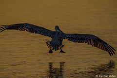 Morning Flight - 19683 (www.karltonhuberphotography.com) Tags: lake bird feet nature sunrise outdoors morninglight bigbird wings pond quiet wildlife exploring feathers earlymorning peaceful calm landing wetlands marsh southerncalifornia flippers naturalworld brownpelican goldenhour naturephotography birdinflight 2014 birdphotography bolsachicawetlands brownpelicanpelecanusoccidentalis nikond7000 karltonhuber