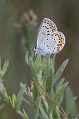 Plebejus argyrognomon (Sinkha63) Tags: france macro male nature animal butterfly wildlife lepidoptera papillon insecta lycaenidae drôme rhônealpes polyommatinae plebejus azuré reverdinsblue plebejusargyrognomon polyommatini azurédescoronilles