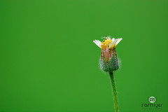 Hey Sexy! (Ram Iyer Photography) Tags: flowers flower macro nature nikon micro nationalgeographic naturallighting flowersarebeautiful nikonflickraward nikonflickrawardgold nikond7100