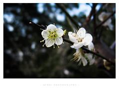 (GFWEI) Tags: plumblossom