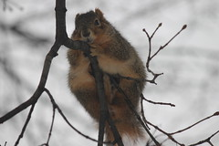Squirrels on a Snowy Winter's Day at the University of Michigan (January 22, 2015) (cseeman) Tags: winter snow cold animal campus squirrels eating michigan annarbor peanut snowing universityofmichigan umsquirrels01222015 januaryumsquirrel