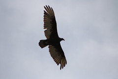 IMG_4564 (californiajbroad) Tags: bird nature turkey outdoors wildlife vulture