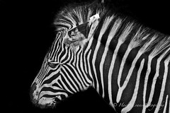 Beauty in every single stripe. (HayleyEvansPhotography) Tags: bw texture beautiful photography nikon media pattern natural stripes thoughtful conservation competition social zebra planet endangered elegant creature breathtaking grevys d3000