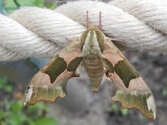 Lindepijlstaart (Mimas tiliae) (Frank Berbers) Tags: macro butterfly insect belgium belgique moth belgi papillon falter schmetterling vlinder belgien butterflygarden nachtfalter nachtvlinder vlindertuin schmetterlingsgarten pijlstaart lieteberg nikoncoolpixs9500 jardindepapillons