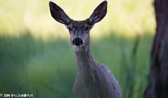 Mule Deer walking towards me (cuddleupcrafts) Tags: me walking photography wildlife deer mule approaching