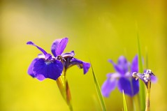 Bloom where you are planted (gwuphd) Tags: zeiss diy bokeh f19 140mm projectionlens petzval kipronar