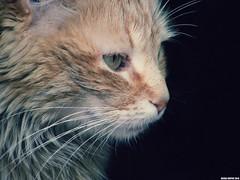 amira (oujda sniper) Tags: portrait pet cats animal fauna cat eyes feline chat noir photographer sniper animaux oujda اسود قطة