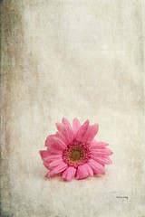 Single Pink (GracefulFoto) Tags: pink summer white plant flower color detail macro nature floral beautiful beauty up closeup garden season botanical one spring stem flora colorful pretty pattern purple natural bright blossom head path vibrant background object decoration nobody fresh petal textures growth gift gerbera single round present daisy bloom botanic botany isolated clipping freshness gerber blooming camomile clippingpath