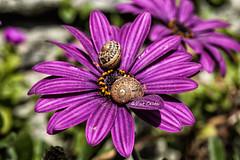 caracoles (Pat Celta) Tags: flowers flores flower macro primavera spring flora nikon d70 flor galicia caracoles florecillas macrofotografa