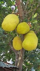 Jack Fruit at Cai Ly commute - Vietnam (korbindallaz) Tags: fruits vietnam jackfruit vietnamesefood vietnamtravel vietnamphotograph