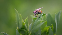 On the lookout... (.: mike | MKvip Beauty :.) Tags: macro green nature closeup germany fly europe zoom bokeh availablelight sony ngc naturallight npc handheld alpha makro mth oss wideopen shallowdof aspherical macrotube extremebokeh smoothbokeh sonyalpha bokehlicious wrthamrhein powerzoom sonyg beyondbokeh emount mkvip 10mmtube selp18105g epz18105mmf4goss sonyalpha6000 ilce6000 sonyilce6000 sony6000 6000 sonyepz18~105mm4goss