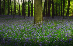 The next season (Robyn Hooz) Tags: uk flowers blue trees bluebells alberi ground romance fields fiori westwood campi suolo