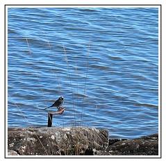 White Wagtail (Anders Hjertn) Tags: water vnern vrmland whitewagtail vrmlandsns