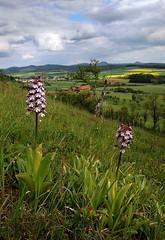 20160516-059F (m-klueber.de) Tags: flora orchidaceae orchidee rhn orchis 2016 purpur purpurea knabenkraut europische purpurknabenkraut rhnflora kuppenrhn nsttal vorderrhn orcpurp mitteleuropische mkbildkatalog 20160516 20160516059f