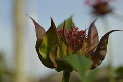 Bee Balm Bud (mslabrat13) Tags: red flower macro dof beebalm monardia flowerbud