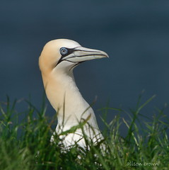 Ready For My Close-Up (alison brown 35) Tags: uk sea wild brown bird ex nature june canon season lens photography wildlife yorkshire sigma cliffs east breeding 7d alison northern 500mm 35 nesting gannet 2016 rspb bempton