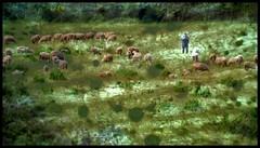 SHEPHERDS AND SHEEP DOGS WORKSPACE (LitterART) Tags: zoom shepherd sheepdog fujifilm herd istria schafe schfer xseries kamenjak istrien herde herdofsheep capkamenjak