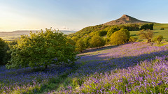 Roseberry Topping (matrobinsonphoto) Tags: wood york flowers trees light sunset summer sun mountain tree green nature field bluebells forest woodland carpet outdoors golden countryside spring woods view yorkshire hill great north hour moors bluebell newton topping roseberry ayton