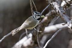 BRITIT 0008 (bryanjsmith62) Tags: parade wildbirds bridledtitmouse baeolophuswollweberi birdsofarizona birdsofmaderacanyon