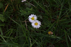 Pictures from Glen Esk (monika.carrie) Tags: flower scotland daisy glenesk monikacarrie