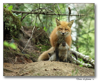 1E1A5405-DL  -   Maman et son petit renardeau / Mom and her young fox.
