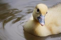 Muskuseendje (Cairina moschata) (mia_moreau) Tags: water sony nederland dier eend vogel limburg zuidlimburg cairinamoschata kasteelpark watervogel dierenportret slta58 miamoreau muskuseendje
