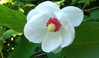 Pretty! Oyama Magnolia - Michiko Renge - P6100899