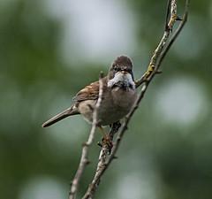 Whitethroat (heather.rigg) Tags: birds outdoors wildlife cleethorpes smallbirds whitethroat cleethorpescountrypark