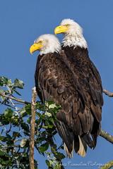 Bald Eagles (Chris Parmeter Photography (smokinman88)) Tags: bird birds animals sport geotagged washington nikon bald sigma perched majestic eagles raptors birdofprey d500 14xtc 150600mm