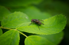 Fly on a Leaf (Kurayba) Tags: park canada macro creek insect fly leaf edmonton pentax bokeh 100mm alberta ravine 100 smc f28 dfa fa wr k5 whitemud pentaxd smcpentaxdfamacro100mmf28wr