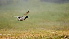 Canard colvert (ijmd) Tags: bird oiseau france bretagne ledebatz