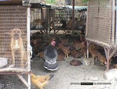 South Korean dog meat farms/markets by yellow dog (Koreandogs) Tags: dogmeat animalcruelty boshintang animalabuse gaegogi dogsoju dogelixir southkorea              hyundai samsung lg kia sk daewoo fila koreanairline asianaairline boycott