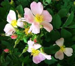 Wild rose: Rosa acicularis (+2) (peggyhr) Tags: pink canada green yellow ant alberta wildrose waterdroplets rosebuds rosaacicularis thegalaxy peggyhr bluebirdestates thegalaxyhalloffame