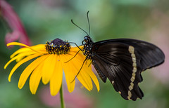 ***** (rvtn) Tags: flowers macro yellow butterfly insect butterflies insects rudbeckia